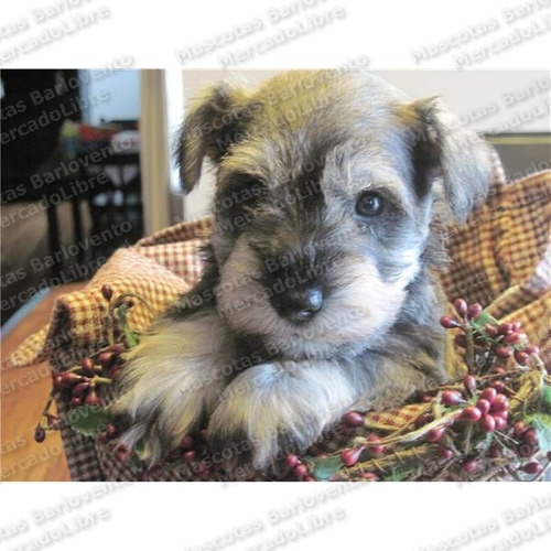Gran Oferta Cachorros Schnauzer Miniatura Unicos Aptos A Fcm