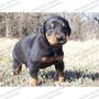 Gran Oferta Cachorros Dobermann Seguridad Aptos Registro Fcm