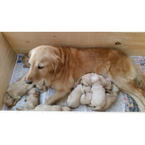 Cachorros Golden Retriever (1 Hembras Y 3 Machos)