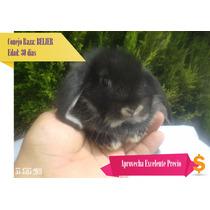 Conejos Belier Mini Lop
