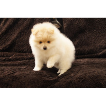 Pomerania Cachorro Premium Lineas Americanas.fotos Reales!