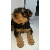 Venta Hermosos Cachorros Airedale Terrier