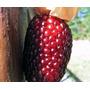 10 Semillas Maiz Palomitas Rojo - Palomitas Rojas -raro Ooh