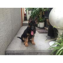 Cachorra Pastor Alemán Pedigree Internacional Fcm