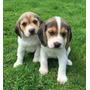 Hermosos Beagle 100% Raza Pura