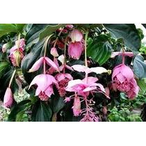 1 Planta De Medinilla Magnifica, Plantas Exoticas
