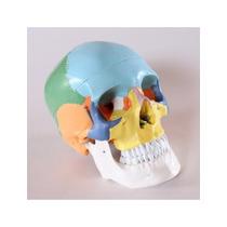 Modelo Anatómico Del Cráneo Didáctico Color Pintado De 3 Par