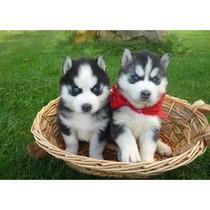 Husky Siberiano Cachorros A Meses Sin Intereses¡¡