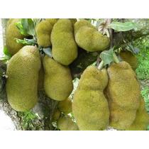 1 Planta De Yaca Frutal Exotico Artocarpus Heterophyllus