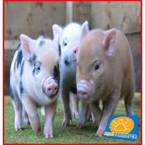 Irresistibles Mini Pigs   Preciosos, Tiernos Y Divertidos!