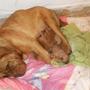 Cachorro Dogo De Burdeos, Preventa, Entrega 10 Septiembre
