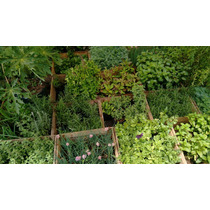 Epazote ( Planta ) Paq. De 12 Aromáticas Envio Incluido