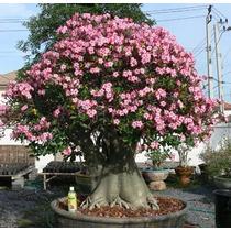 Adenium Arabicum Rosa Del Desierto Planta En Maceta De 7