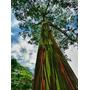 Eucalipto Arcoiris Semillas Exoticas Promo Aprox 200