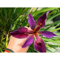 Rizoma Camote De Iris Vinicolor Bulbos