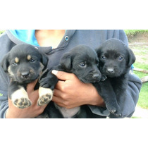 Cachorros Labradores Negros