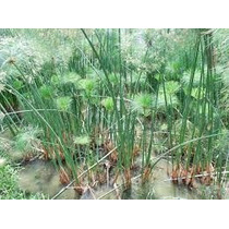 1 Planta De Papiro (cyperus Papyrus) Planta De Ornato