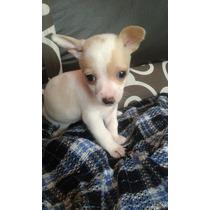 Hermosos Cachorros Chihuahua