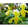 Venta De Orquídeas Paphiopedillum Amarillo