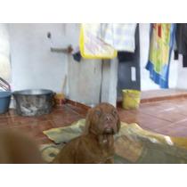 Dogo De Burdeos Cachorros Con Opción A Pedigre