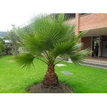 Semillas De Palma Washingtonia Abanico A $3.00 Pesos