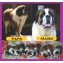 Cachorros San Bernardo