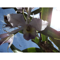 Orquidea Cattleya Lueddemanniana X Wrigleyi