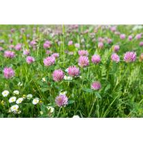 Semillas De Trebol Rojo 1 Kilo Trifolium Pratense Clover