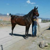 Yegua Arabe Americana Rienda Vaquera
