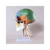 Wellden Producto Didáctico Modelo Del Cráneo Humano Con 7 Vé