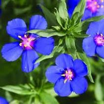 Anagalis Monelli 10 Semillas Flores Rastrera Planta Sdqro
