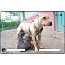 Cachorros Pitbull Terrier 2 Meses Cafe Y Negro