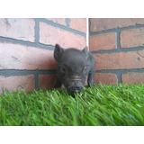 Mini Pig Minipigs Mini Pigs Minipig  Negrito
