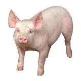 Corrida Financiera Para Proyecto Engorda De Cerdos