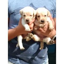 Cachorros Labrador Padres Con Pedigre Internacional Azul