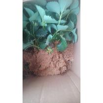 Plantas De Fresa Cantidad De 150 Envío Gratis