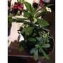 Euphorbia Milii (corona De Cristo)