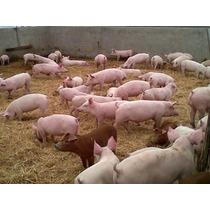 Venta De Lechones,cerdas Para La Cria,sementales,cerdo Gordo
