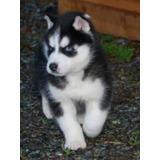 Cachorros Husky Siberiano Ojos Azules