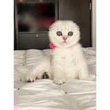 Gatita Scottish Straight Y Scottish Fold En Venta