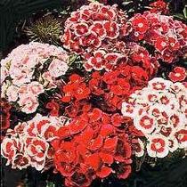Clavel Del Poeta Mix 20 Semillas Flor Jardín Planta Sdqro