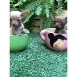 Cachorros  Chihuahua  Super  Mini  Fotos  Reales.