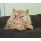 Gatos Gatitos Persa  Súper Calidad Red Tabby