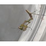 Mantis Religiosa L3