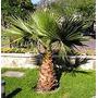 Palmera Abanico Washintonia 5 Semillas Jardín Ornato Sdqro