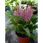 24 Semillas De Eucomis De Flor Fiucsa, ( Planta De Bulbo )