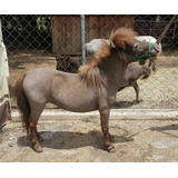 Yegua Miniatura Super Chiquita - Caballito Mini Pony