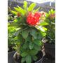 Planta Corona De Cristo 10 Variedades Colores Euphorbia Mili