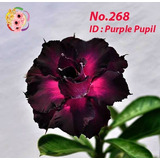 50 Semillas Rosa Del Desierto Exotic