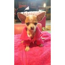 Excelentes Cachorros Chihuahuas